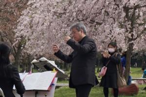 八木桜201503